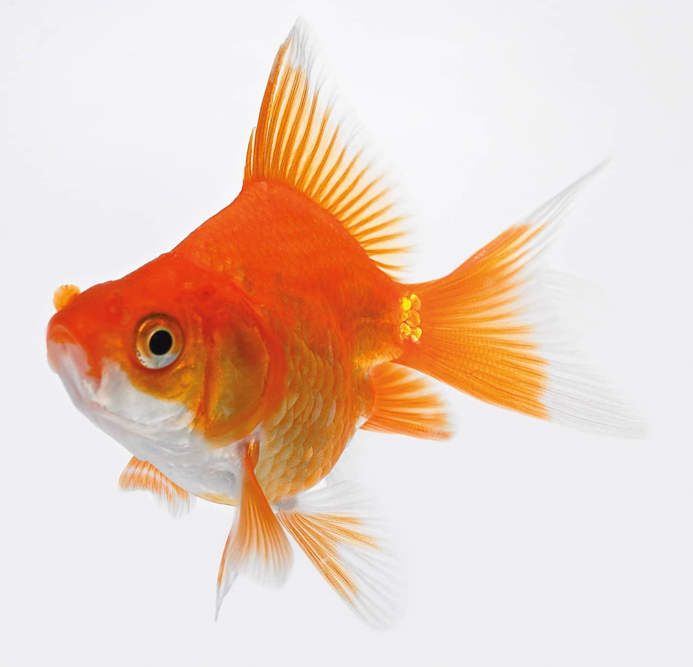 Teichfische impuls lifestyle for Bilder teichfische