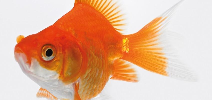 Teichfische impuls lifestyle for Teichfische arten